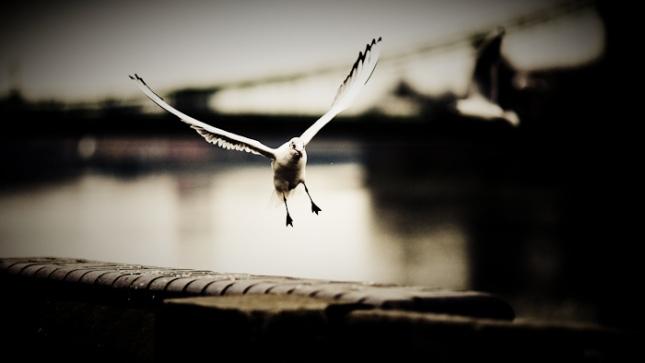 Seagull (and Hammersmith Bridge)